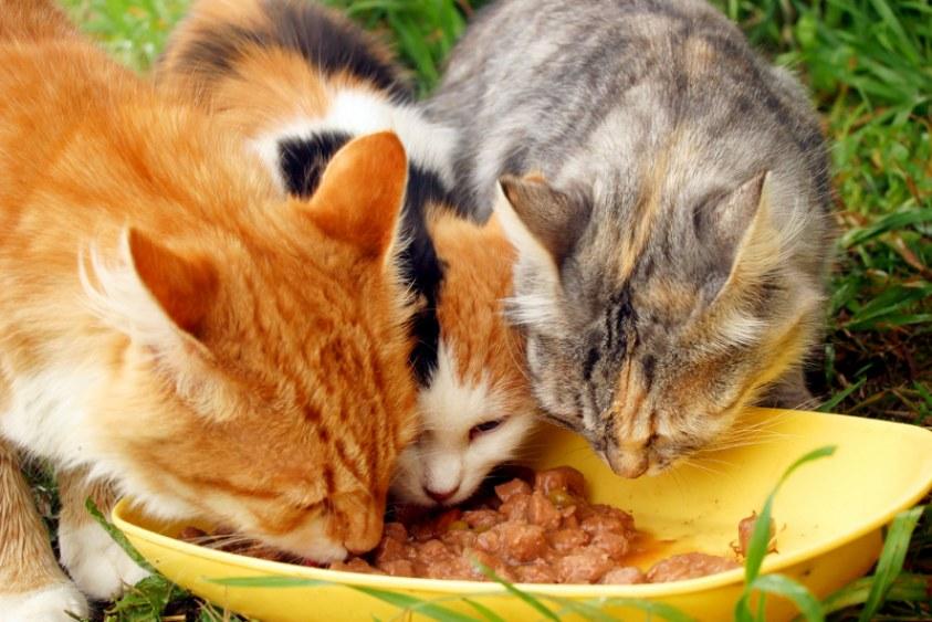 Sistema digestivo de los gatos | Blog | Mascotea