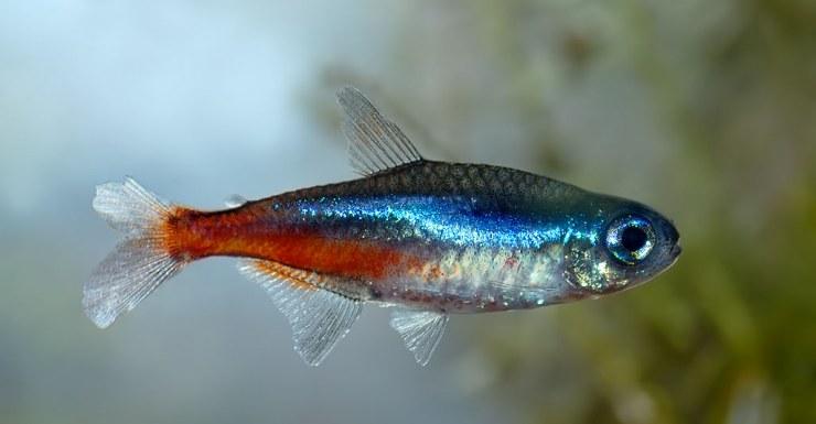 Particularidades y cuidados de los acuarios de agua fr a Peces de agua dulce fria
