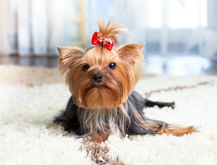 Perros de raza pequeña   Blog   Mascotea