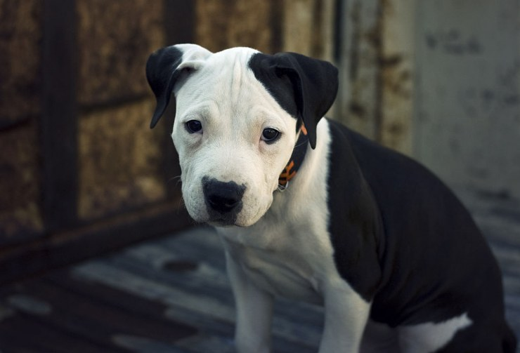 1024px American Pit Bull Terrier Pup