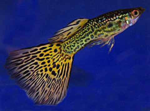 Criar peces en tu acuario blog mascotea for Peces para criar