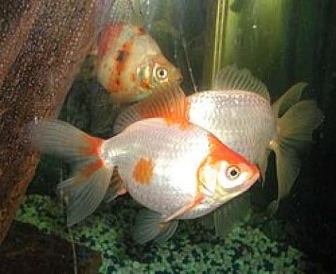 Criar peces en tu acuario blog mascotea for Peces goldfish tipos