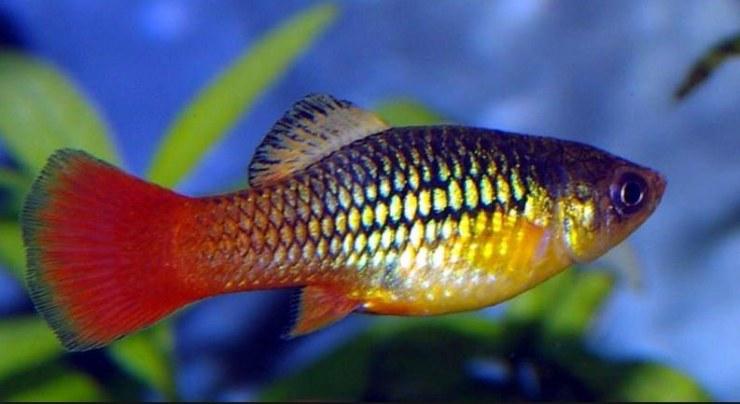 Agua caliente blog mascotea for Peces para acuarios pequenos